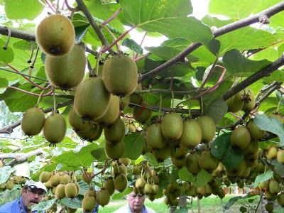 Kiwi Orchard Agrodome Show Pictures Fruit Garden Fruit Plants Edible Garden
