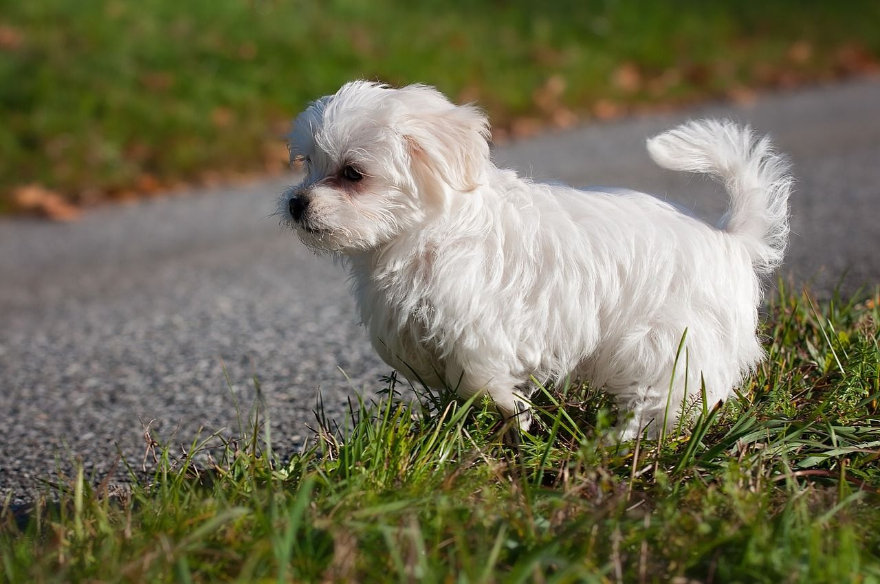 Free Photo Maltese Dog White Young Dog Puppy Young Animal Max