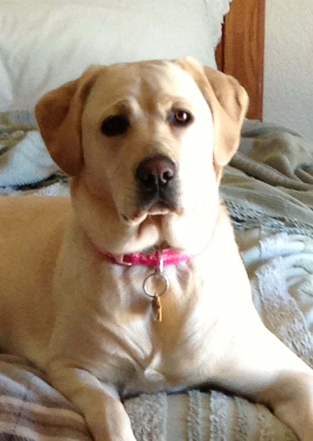 Pin by Colleen Owens on I Love Yellow Labs!! Labrador