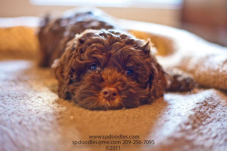 Pictures of Past Litters | Sugar Pine Doodles