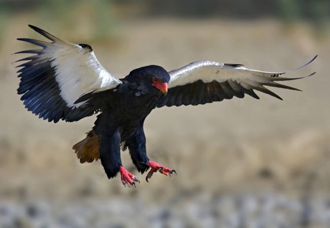 South Africa Birdlife South African Birds South African Birds Largest Bird Of Prey Types Of Eagles