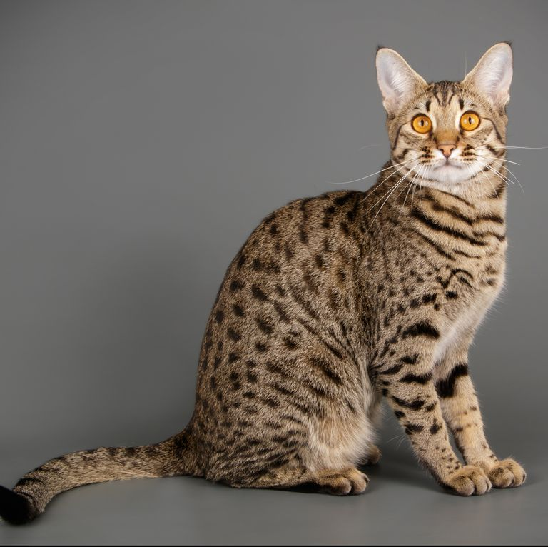 11 Large Cat Breeds That Are So Cute You Ll Want To Adopt One Immediately Large Cat Breeds Cat Breeds Cat Pics