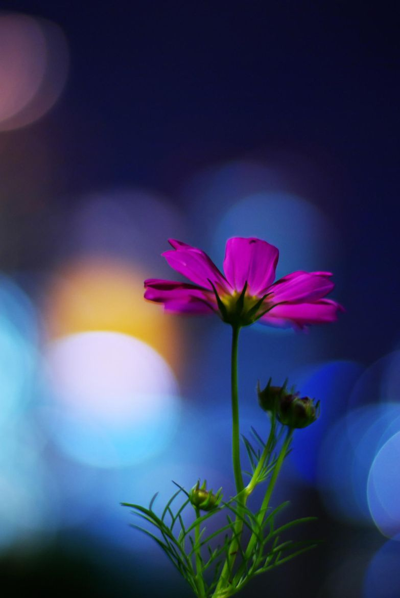 Artistic Realistic Nature Flower Of The Night Cosmos On 500px By Hideki Cosmos Flowers Flowers Nature