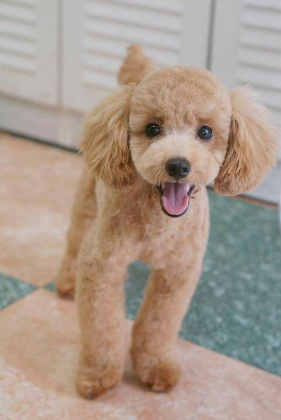 Pin On Apricot Poodle Goldie