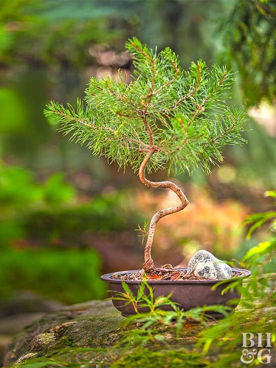 8 Tips For Growing Dwarf Conifers In Containers Dwarf Conifers Bonsai Tree Indoor Bonsai Tree