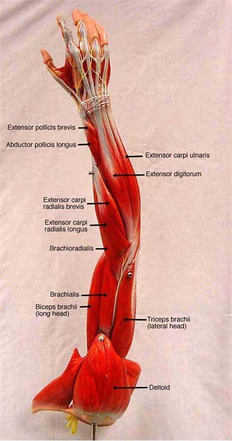 Rezultat imagine pentru leg muscle model labeled #MuscleAnatomy ...