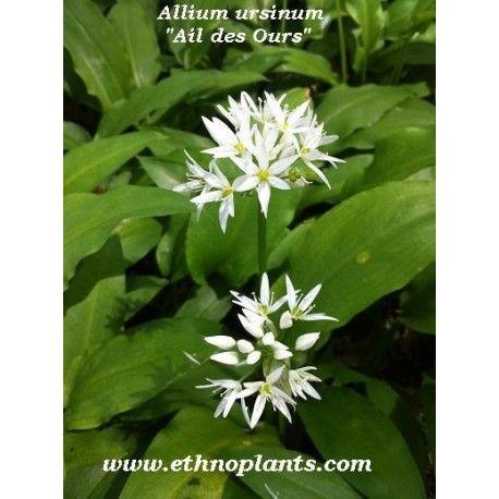 allium ursinum ail des ours 25 graines graines et plantes pinterest. Black Bedroom Furniture Sets. Home Design Ideas
