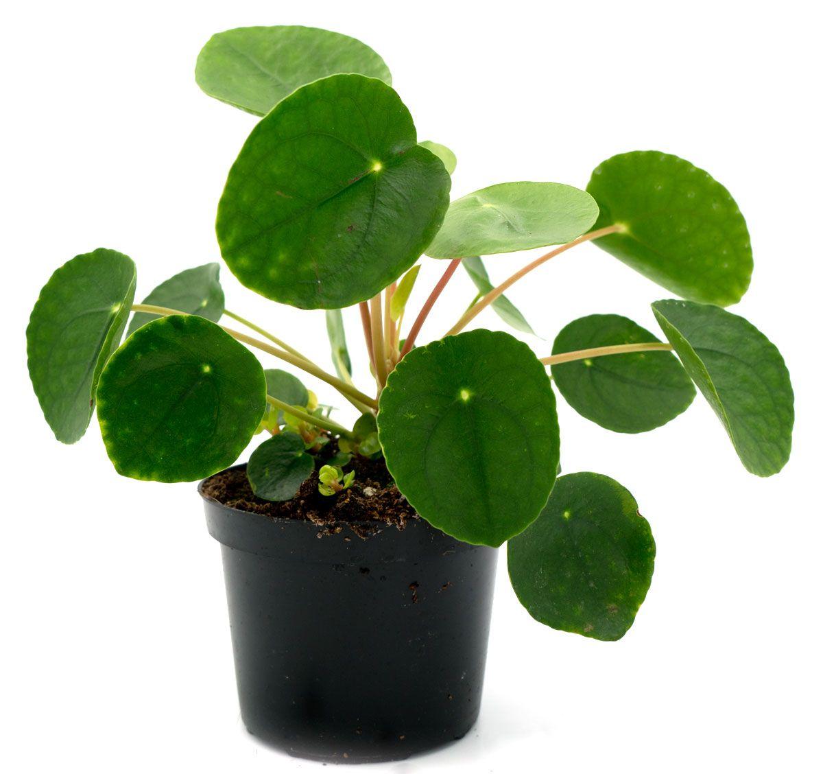 Schone Topfe Brauchen Schone Pflanzen Die Pilea Auch Ufopflanze