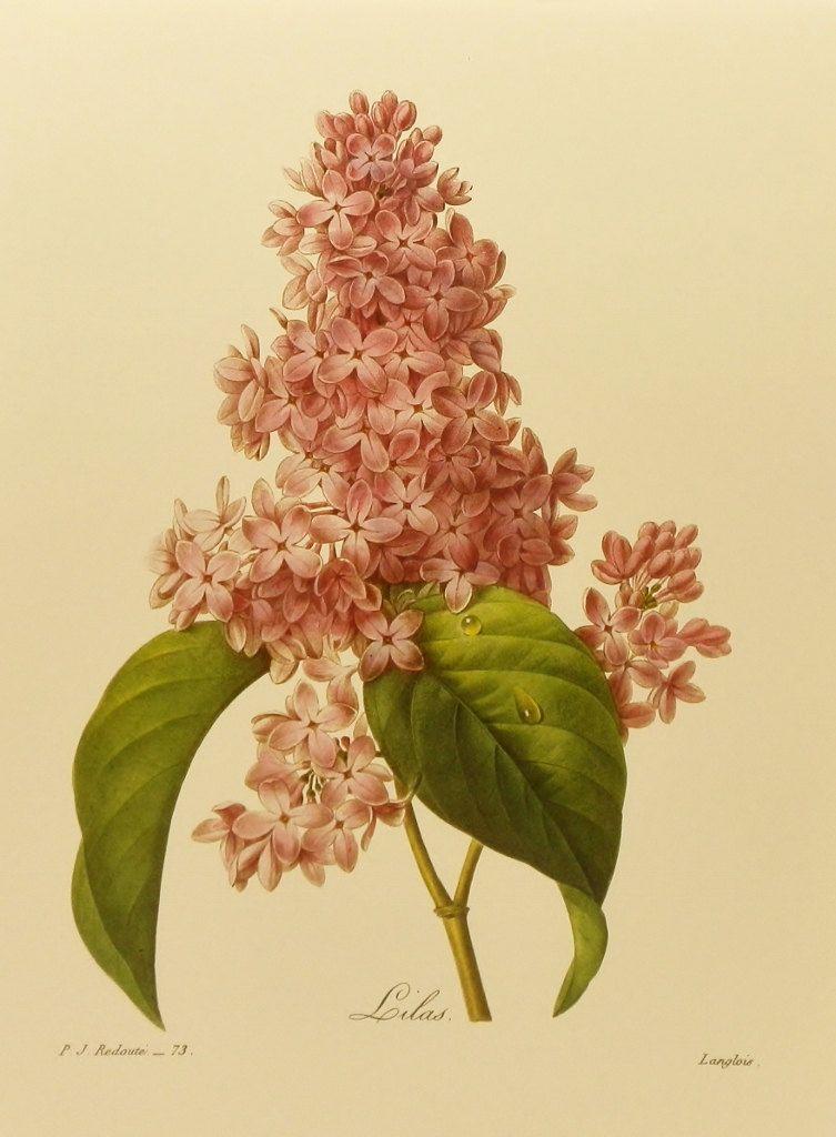 Lilac Art, Botanical Print (Purple Wall Art, Flower Wall Decor ...