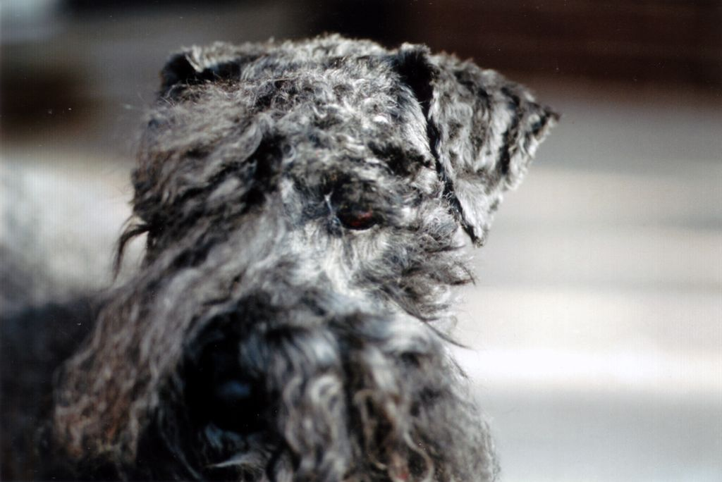 Penny kerry blue terrier