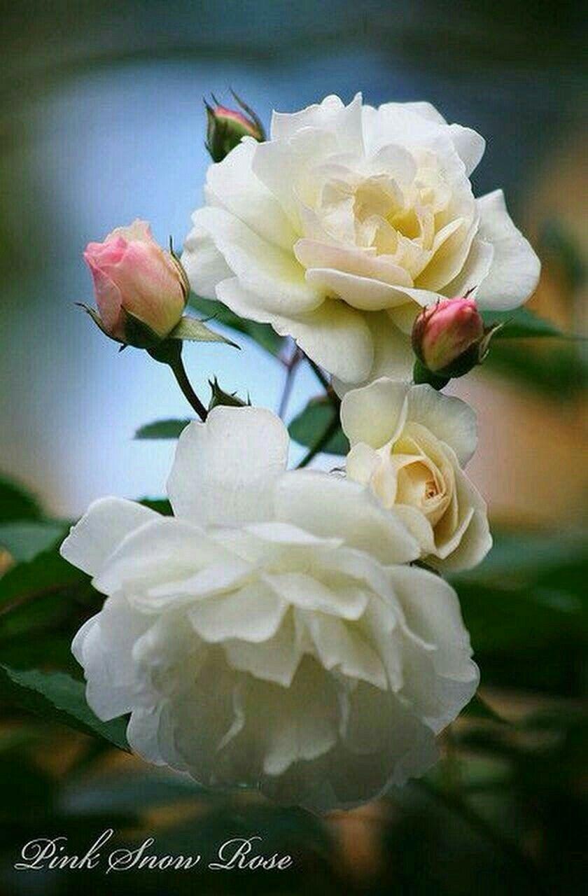 pingl par celine prochasson sur roses pinterest fleurs rosier et rose. Black Bedroom Furniture Sets. Home Design Ideas