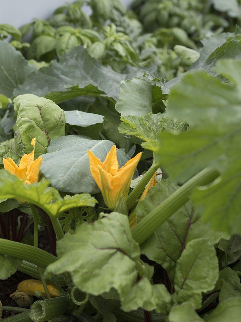 Gurken Im Topf Anbauen Pflanzen Pflegen Und Die Richtigen Sorten Stachelbeeren Pflanzen Gurkenpflanze Gemuseanbau