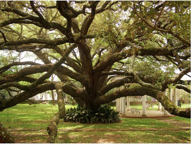 Consider The Trees Live Oak Trees Tree Live Oak