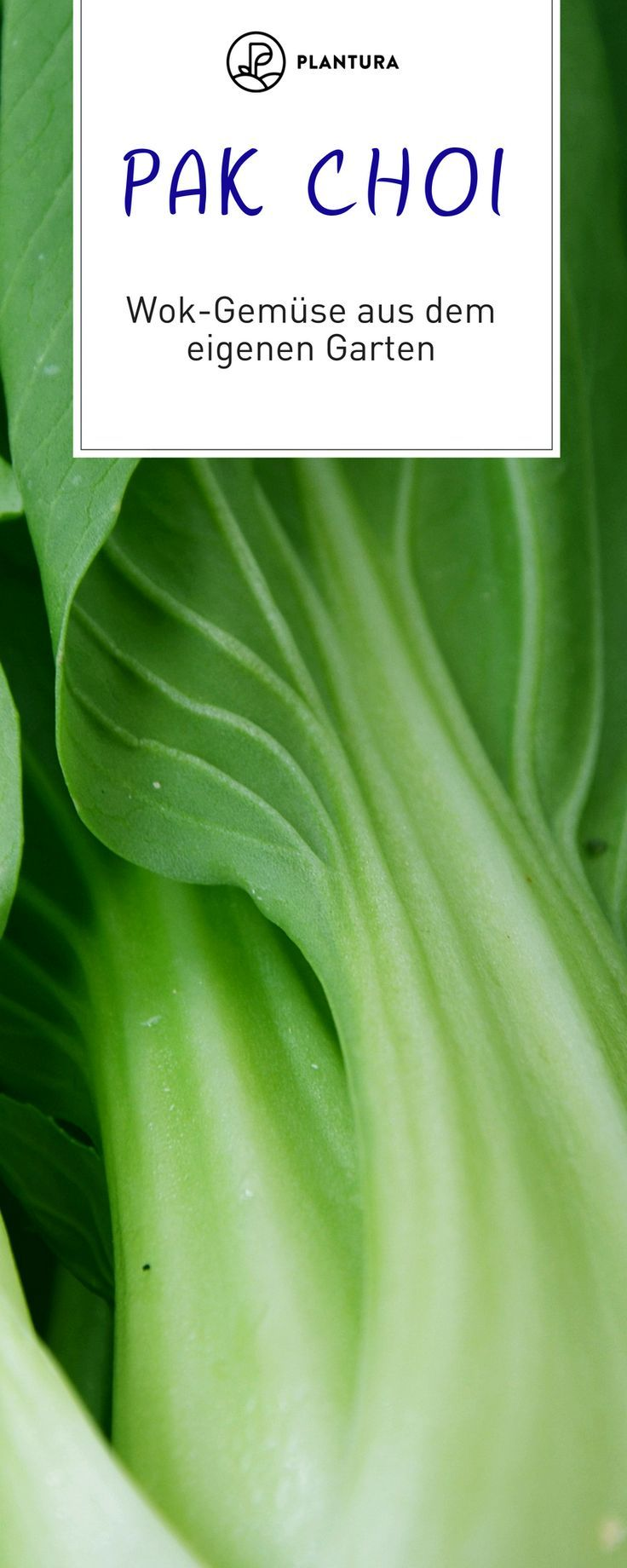 Grow Pak Choi: sowing care and harvest time #gemüsegartenanlegen