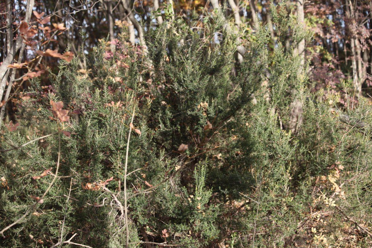 Photo of erica arborea