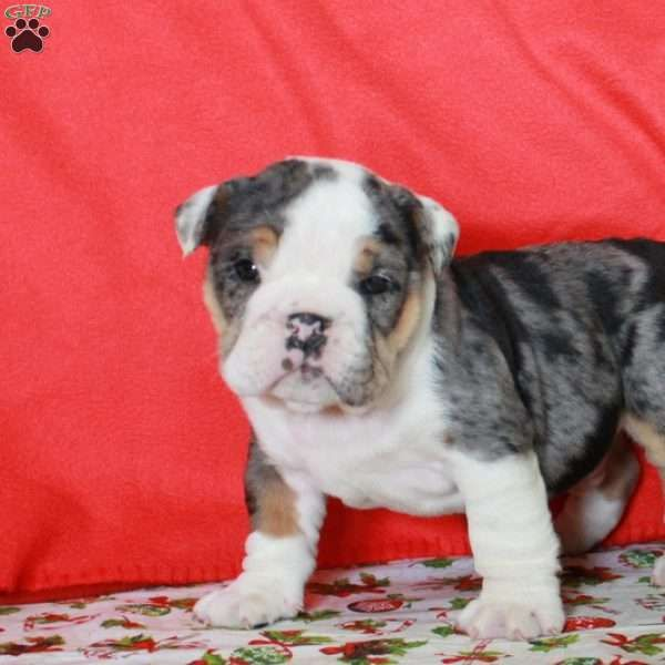 Hank English Bulldog Puppy For Sale In Pennsylvania Animals