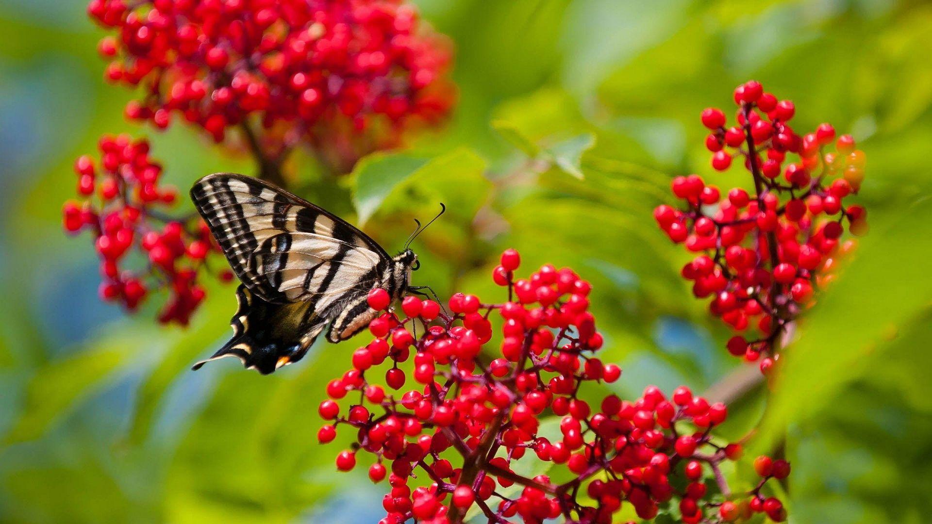 Beauty Butterfly On Red Flower Hd Wallpaper Butterfly Wallpaper Beautiful Wallpapers Fruit Wallpaper