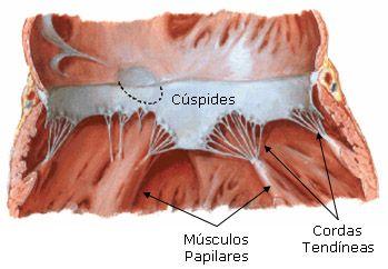Estrutura Das Valvas Atrioventriculares Aula De Anatomia