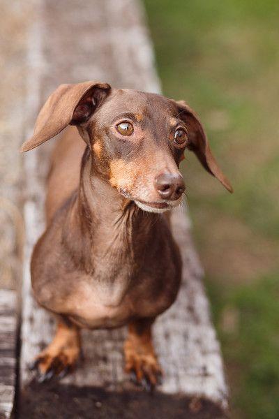 Blog Wiener Dog Pet Portraiture Cool Pets