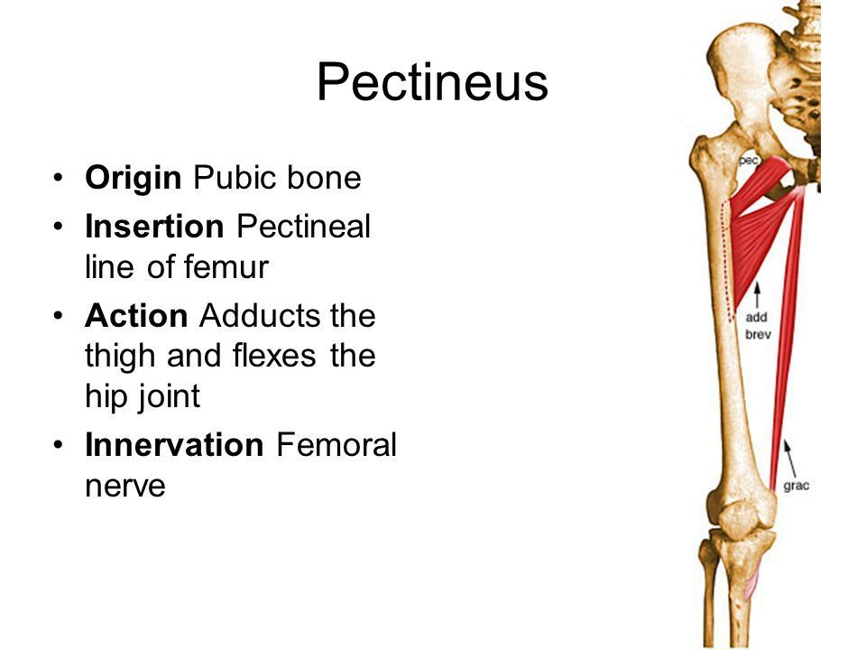 Pectineus Origin And Insertion Google Search Health Pinterest