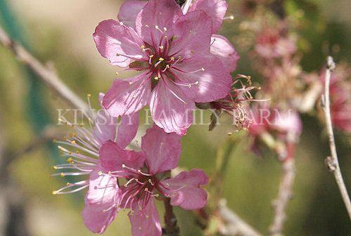 Flowering Cherry Trees For Sale Georgia Kinsey Family Farm Flowering Cherry Tree Bird Garden Cherry Tree