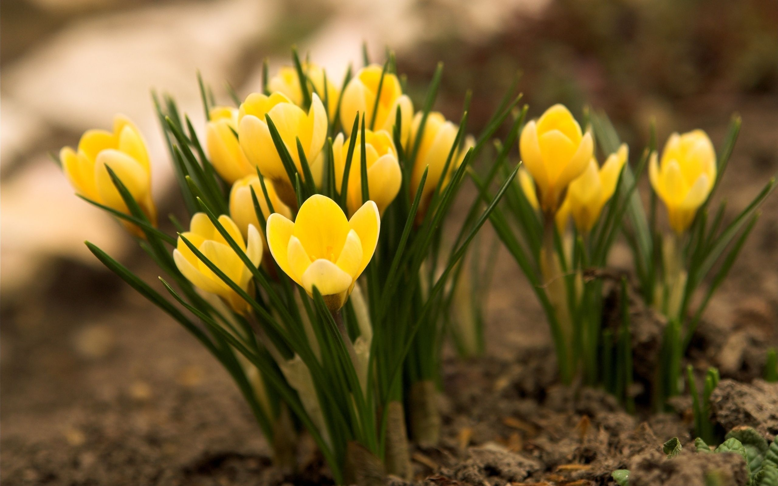 Yellow Crocus Flowers Photo Wallpaper 2560x1600 23752