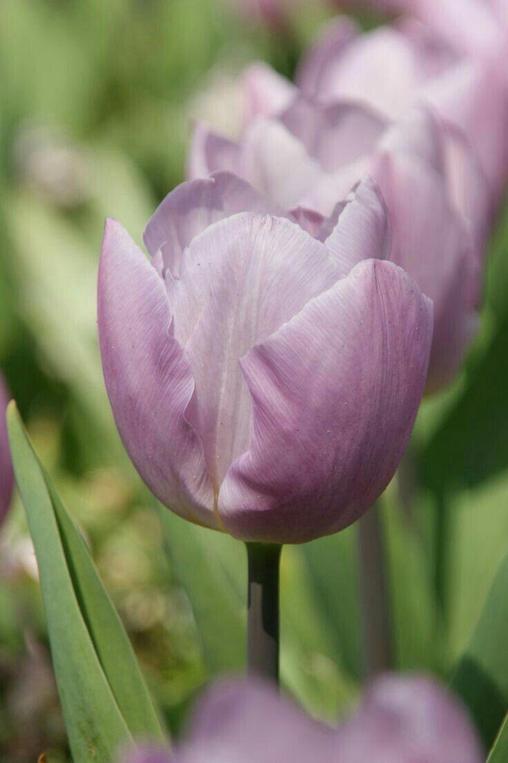Pin by Mona Moni on Tulipanët Spring flowering bulbs