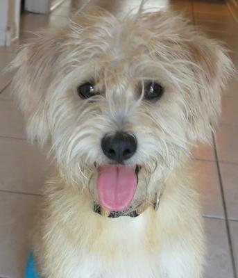 Cairmal Terrier Mix Cairn Terrier Wheaten Terrier Mix