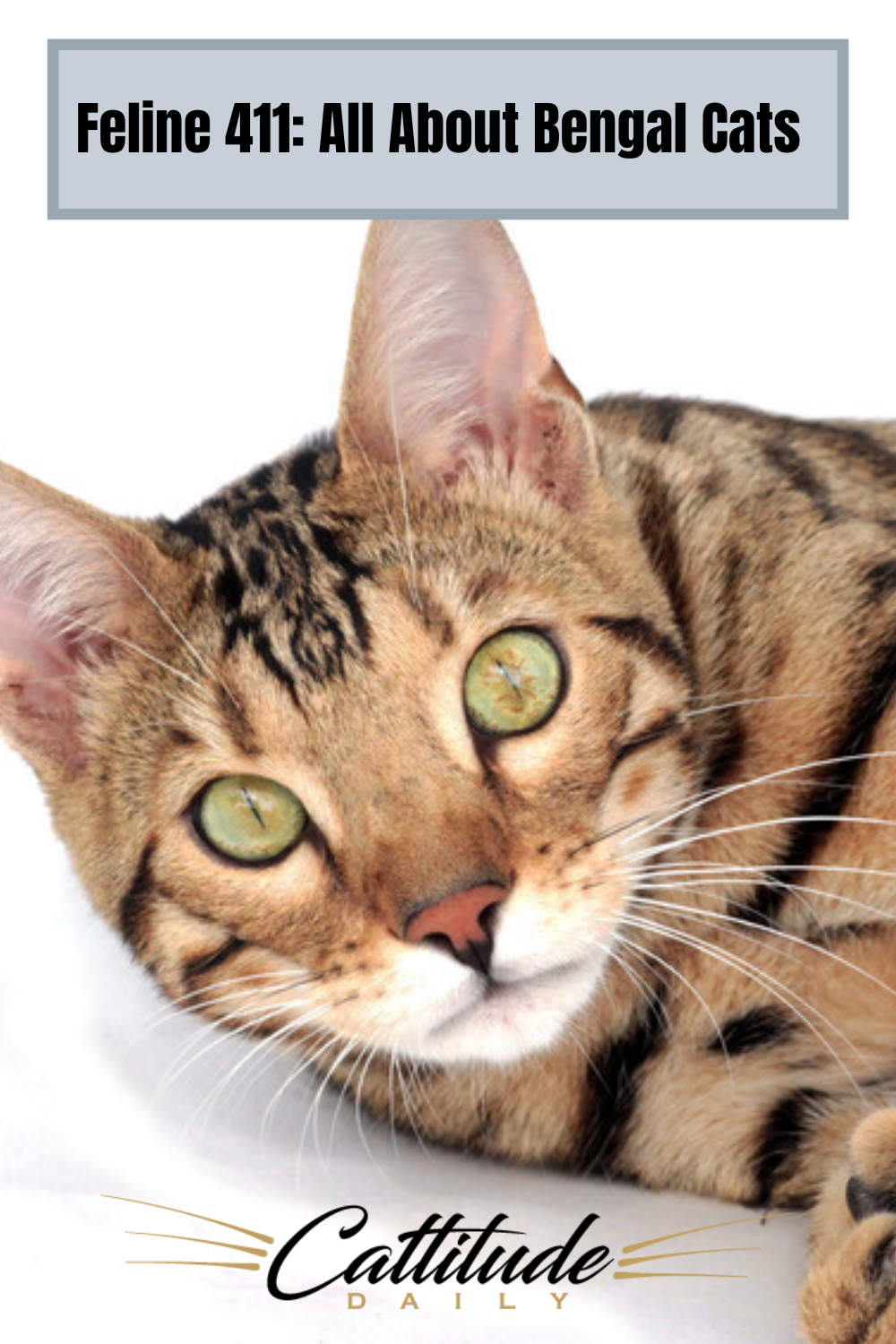 Feline 411 All About Bengal Cats In 2020 Bengal Cat Bengal Cat Facts Popular Cat Breeds