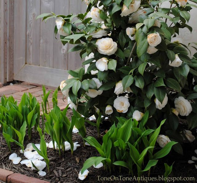 Next To The Front Door Is This Spring Blooming Camellia With Double White Flowers It Is Underplante Spring Garden Outdoor Gardens Landscaping Interior Garden