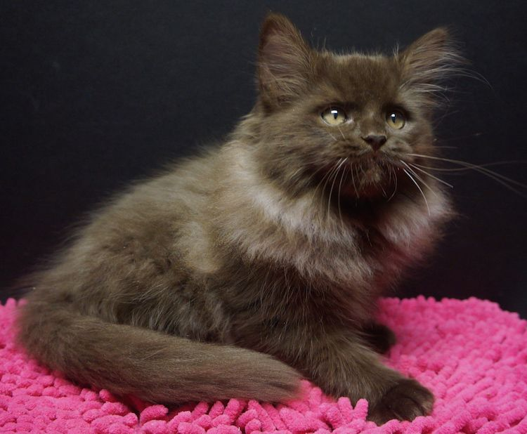 solid chocolate ragdoll Ragdoll cat, Cats, Pretty cats