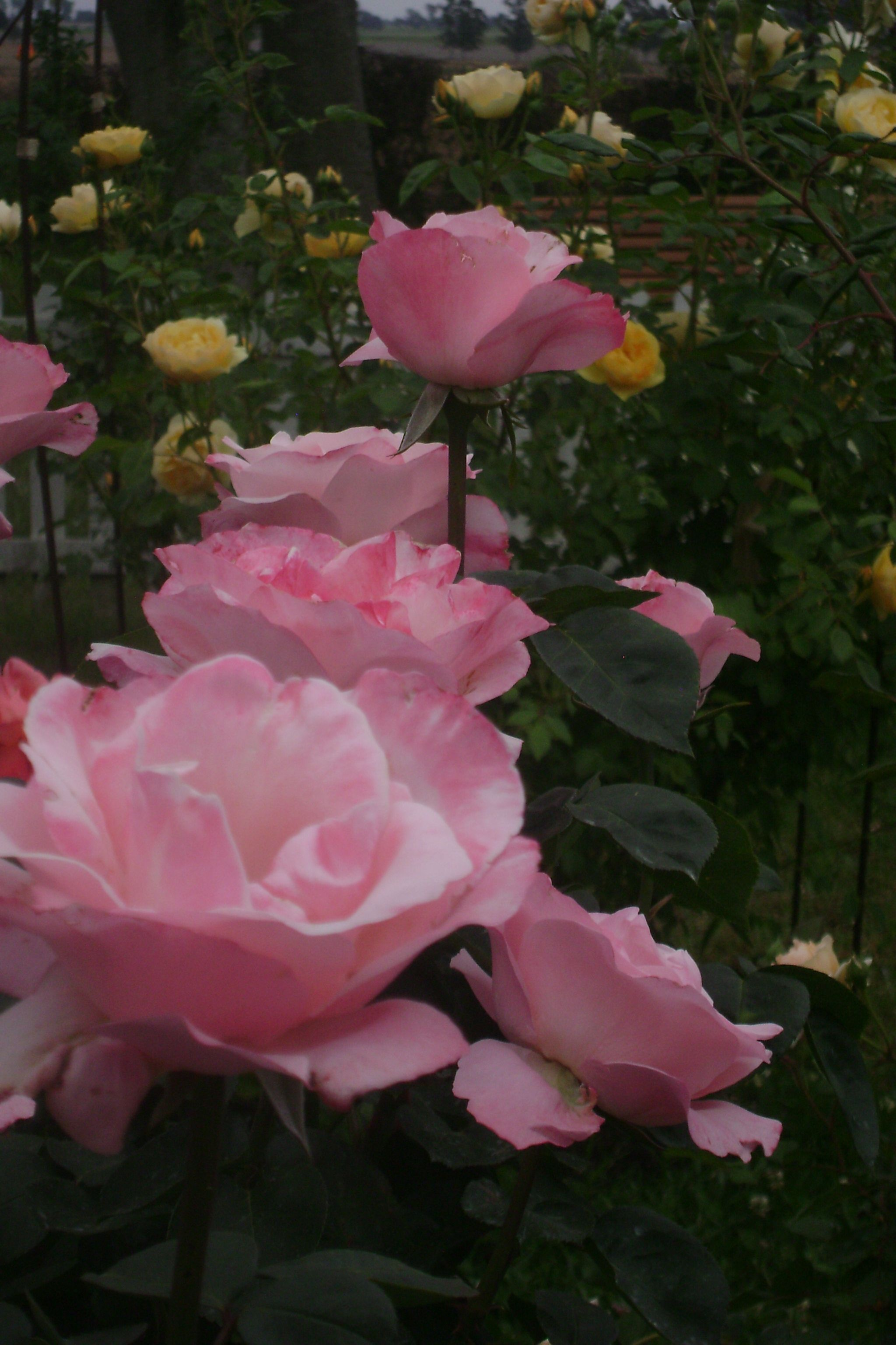 Small Of Queen Elizabeth Rose