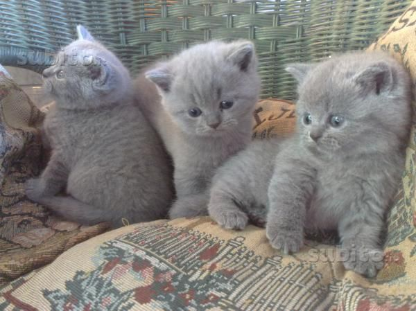 British Shorthair Babies Cute Cats And Dogs Cute Cats Baby Cats