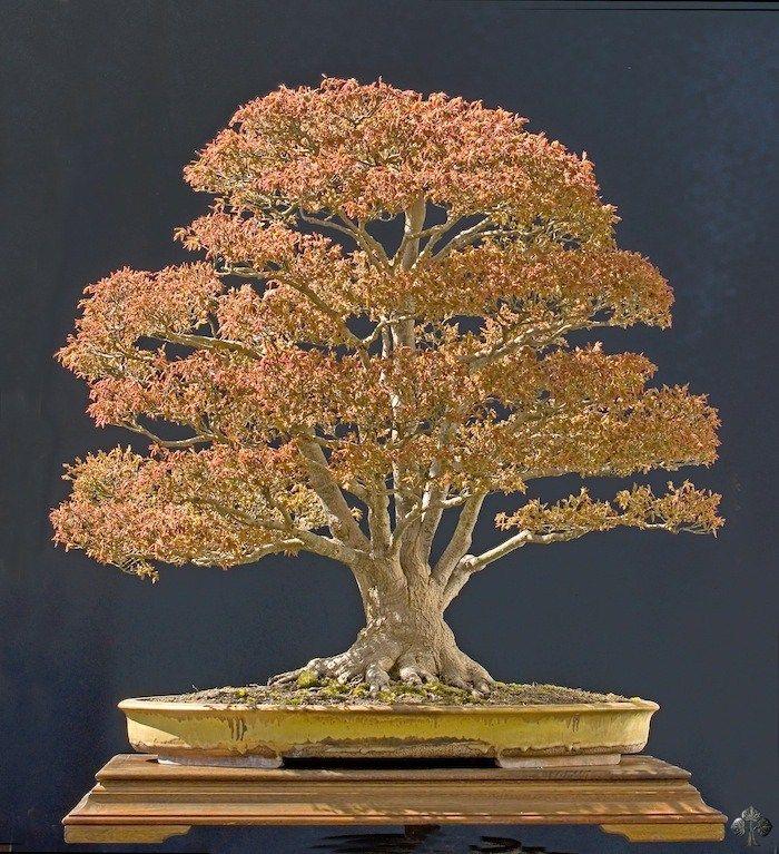 Walter Pall Bonsai tree price, Japanese bonsai tree, Buy