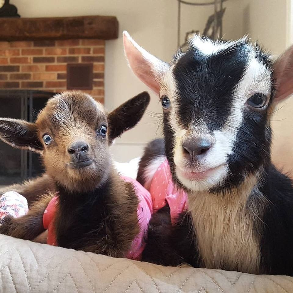 Baby Goat Abandoned In The Cold Gets A New Best Friend Baby Goats Cute Animals Goats