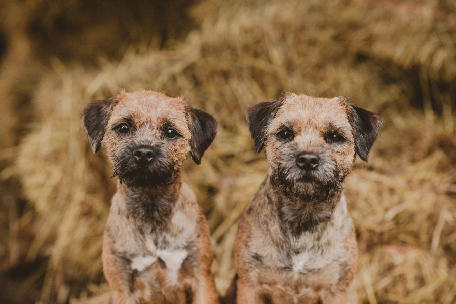 Myrskyn Jalkeen Border Terrier Terrier Breeds Brown Dog