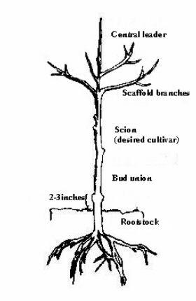 Grape Vine Tree Diagram - Explore Schematic Wiring Diagram •