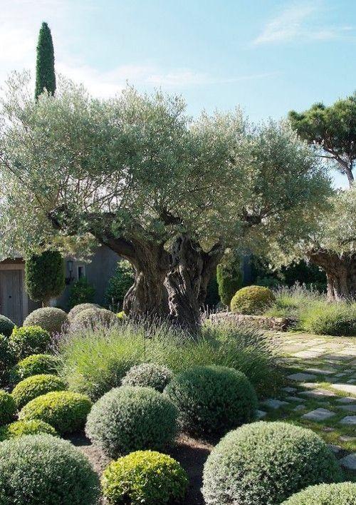 Dieser eintrag ist teil von 17 der serie beautiful for Gartengestaltung olivenbaum