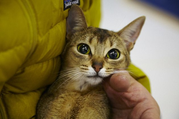 Bibi the Abyssinian from ilove.cat