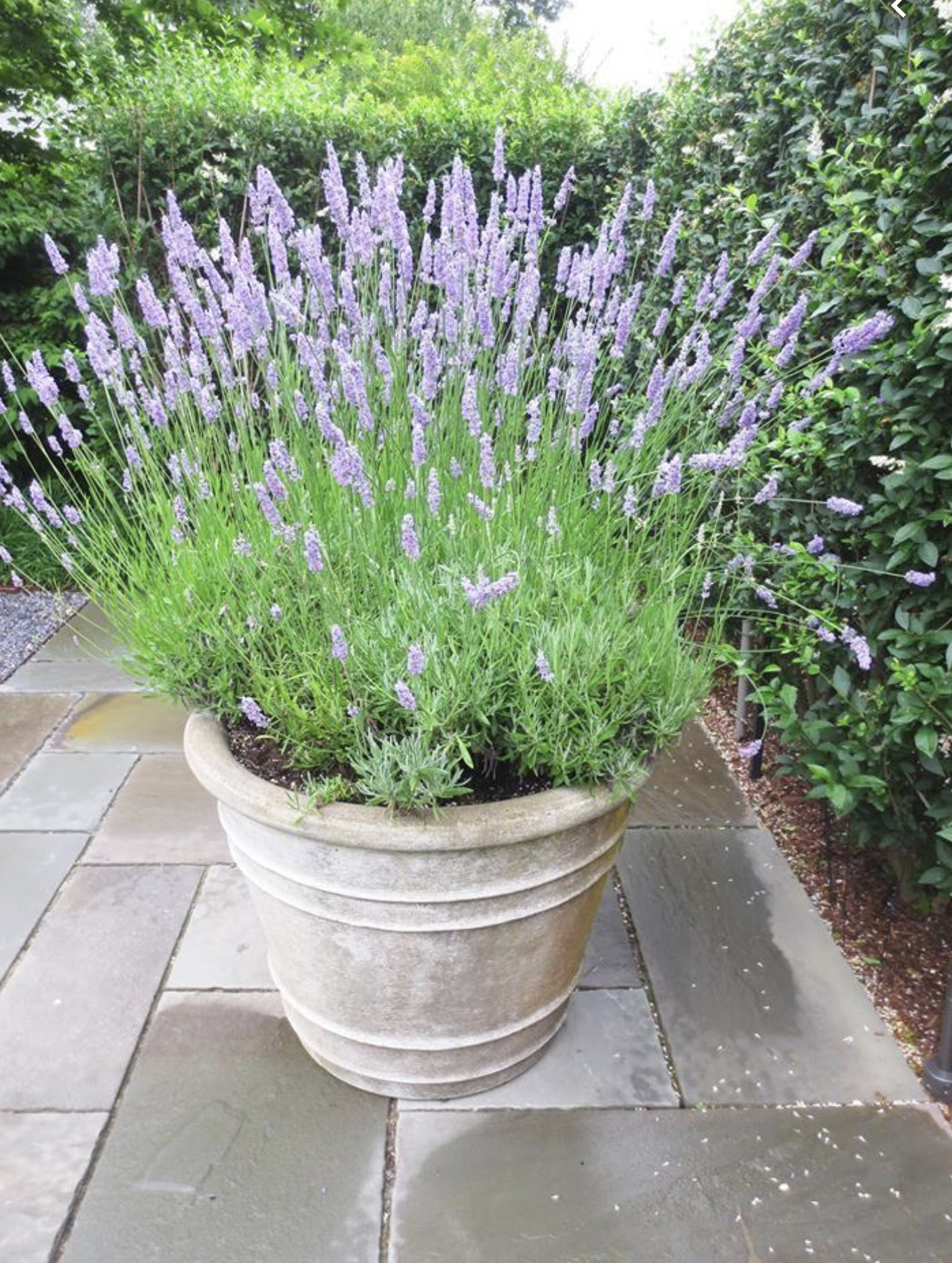 All you need to know about growing lavender Garden soil