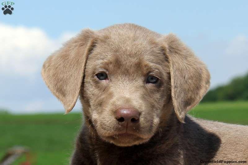 Daryl Labrador Retriever Silver Puppy For Sale In Pennsylvania Labrador Retriever Labrador Puppies