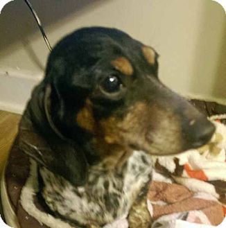 Chesterfield Mo Dachshund Meet Missy A Dog For Adoption Http