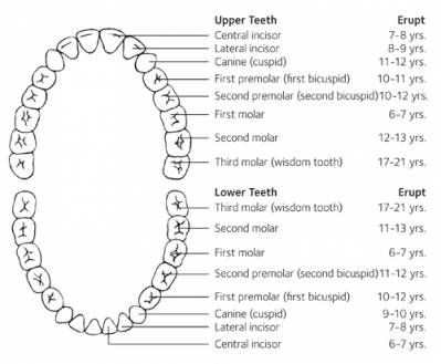 A long-term babies teeth chart can help you and your child keep - baby teeth chart