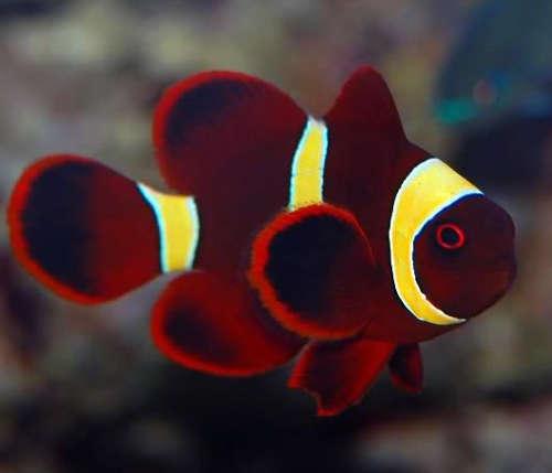 Maroon Clown Yellow Stripe Aquatic Village In 2020 Saltwater Aquarium Fish Beautiful Sea Creatures Clown Fish
