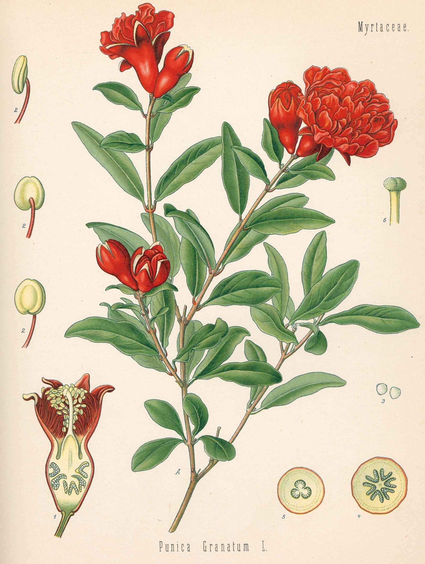 k hler h a punica granatum medizinal pflanzen 1887 botany fruit food herbs. Black Bedroom Furniture Sets. Home Design Ideas