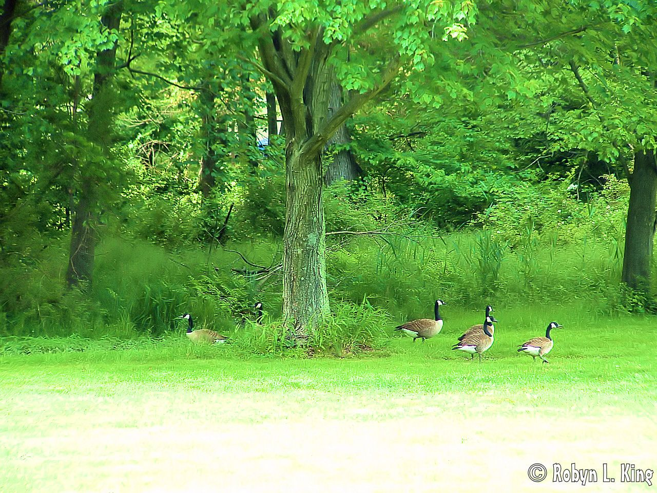 Geese by Robyn King