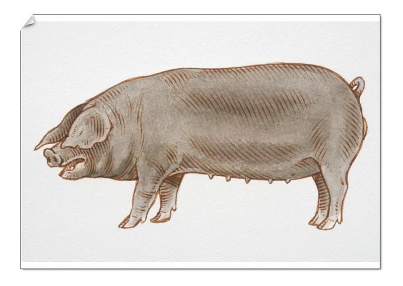 530+A0 Poster. Illustration, black female Domestic Pig sus sp.,