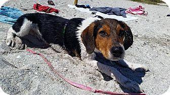 Tampa Fl Beagle Hound Unknown Type Mix Meet Titan Puppy