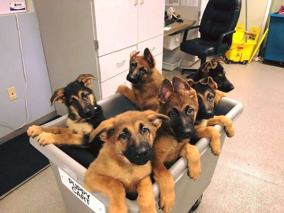Germanshepherd German Shepherds Pinterest Dogs Puppies And