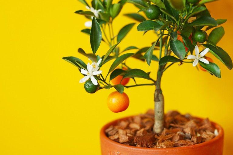 Cultiver Un Calamondin En Pot Oranger D Appartement Mango And Salt Cultiver Arbuste Petit Arbuste